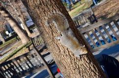 Attività sveglia dello scoiattolo Fotografia Stock Libera da Diritti