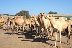 Ð¡attle market. Cattle market on roar in Somalia stock images