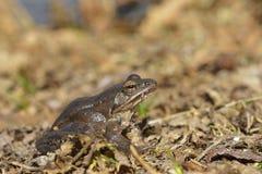 Attracchi la rana in arvalis del Rana di primavera immagini stock libere da diritti