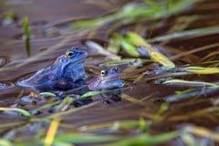 Attracchi la rana nel selvaggio Immagine Stock