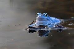 Attracchi la rana nel selvaggio fotografia stock