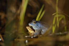 Attracchi la rana in primavera Fotografia Stock