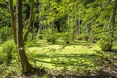 Attracchi nella foresta del faggio del parco nazionale di Jasmund vicino a Sassn fotografia stock libera da diritti