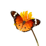 Attract. Butterflies of Danaus chrysippus (Plain tiger or African monarch) on a yellow flower isolated on the white background. Close up royalty free stock image