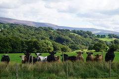 Cattle watching. Stock Photography