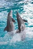 Attraction de dauphin Photos stock