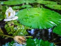 Attraction touristique, vieil étang avec le lotus dans les temples célèbres chez la Thaïlande Image stock