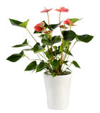Attractive Anthurium Flower Plant on White Pot. Close up Attractive Genus Anthurium Flower Plant, Konwn as Flamingo Flower, on White Pot Isolated on White Stock Photo