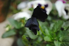 Attractive Black Flower royalty free stock photography