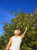 Attractive blonde in the garden. Beautiful blonde picking the apples in the garden Royalty Free Stock Images
