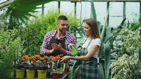 Attractive couple work in greenhouse. Woman gardener in apron watering plants with garden sprayer while her husband Royalty Free Stock Photography