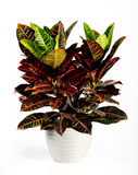 Attractive Croton Plant on White Pot Royalty Free Stock Images