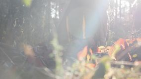 Attractive fashionable young female hiking in fall yellow red forest at warm autumn day. Sun rays breaking through trees leaves at. Sunrise stock footage