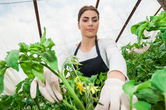 Attractive female gardener in greenhouse Royalty Free Stock Photography