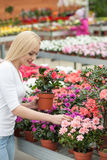 Attractive female gardener is working in greenhouse. Pretty young florist is arranging flowers in plant shop. She is standing and holding a flowerpot. The woman Royalty Free Stock Photo
