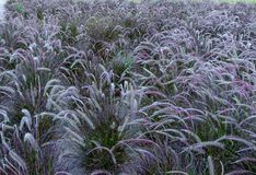 Attractive field of spikelets of pennisetum in different shades of green. At sunset royalty free stock photos
