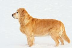 Attractive golden retriever Royalty Free Stock Photography