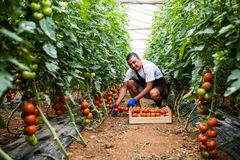 Attractive happy male farmer working in greenhouse. Agriculture harvest. stock image