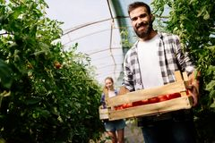 Attractive happy male farmer working in greenhouse. Attractive happy male farmer working in his greenhouse Stock Image