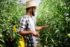 Attractive happy male farmer working in greenhouse. Attractive happy male farmer working in his greenhouse Royalty Free Stock Photography