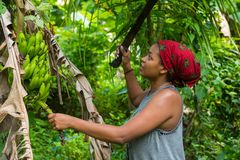 A hard working caribbean woman harvesting green bananas with a machete