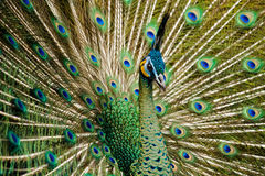 Attractive indian peacock Royalty Free Stock Photo