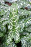 Italian arum leaves Stock Photography