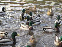 Attractive mallard ducks gathering and swimming in a pond. Cute and attractive mallard ducks gathering in a pond, Canada Royalty Free Stock Photo