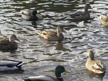 Attractive mallard ducks gathering and swimming in a pond. Cute and attractive mallard ducks gathering in a pond, Canada Stock Images