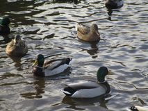 Attractive mallard ducks gathering and swimming in a pond. Cute and attractive mallard ducks gathering in a pond, Canada Royalty Free Stock Images