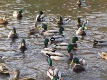 Attractive mallard ducks gathering and swimming in a pond. Cute and attractive mallard ducks gathering in a pond, Canada Stock Photos