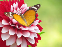 Spring flower and butterfly background. A Viceroy butterfly sits on a reddish white attractive dahlia flower stock photography