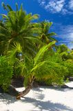 Attractive palmtrees. On the coral sandy beach,  Maldive island, Gan in the Indian Ocean Royalty Free Stock Photography