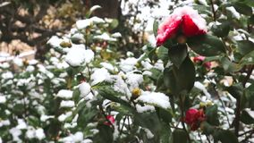 Snow falls on the red camellia flower. Camellia flower in bloom covered in snow.. Snow falls on the red camellia flower stock video