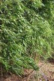 Bamboo cane plant Stock Image
