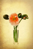 Attractive textured picture of apricot colored poppies Royalty Free Stock Photography