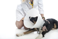 Attractive veterinarian examines dog Stock Image