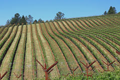 Attractive vineyard in California. Attractive vineyard in Napa, California on Howell Mountain Royalty Free Stock Images