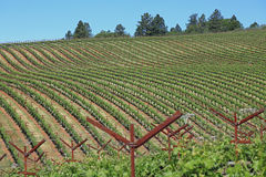 Attractive vineyard in California. Attractive vineyard in Napa, California on Howell Mountain Royalty Free Stock Photography