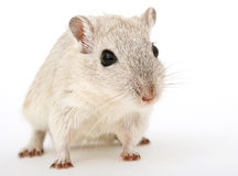 Attractive young female rodent royalty free stock images