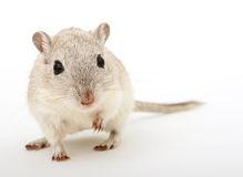 Attractive young female rodent Royalty Free Stock Photography