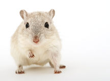 Attractive young female rodent Stock Image