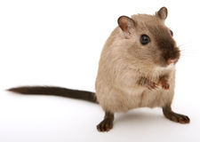Free Attractive Young Male Rodent Royalty Free Stock Image - 1193096