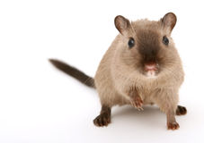 Attractive young male rodent stock photo