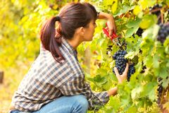 Attractive young woman picking bunches of grapes stock photos