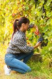 Attractive young woman picking bunches of grapes royalty free stock photo