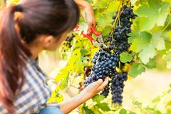 Attractive young woman picking bunches of grapes royalty free stock photography