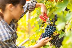 Attractive young woman picking bunches of grapes stock images