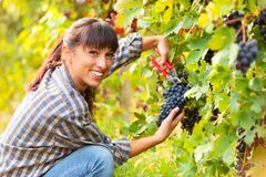 Attractive young woman picking bunches of grapes royalty free stock photos