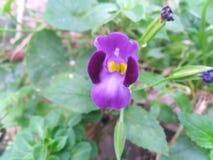Attraktiv blomma för liten lilafärgmening fotografering för bildbyråer